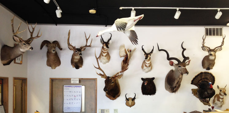 Wall of Mounts at Artistic Taxidermy