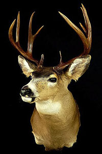 Artistic Taxidermy deer shoulder mount